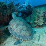 Anguilla Sea Turtles